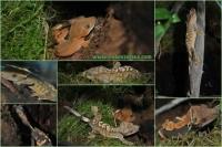 снимка на Ресничест гекон /R. ciliatus/  женски